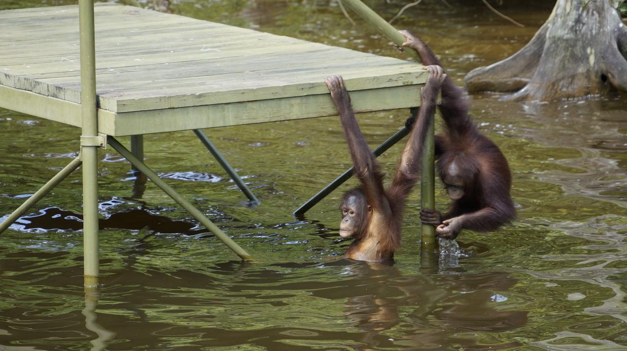 Orángután sziget Malajzia