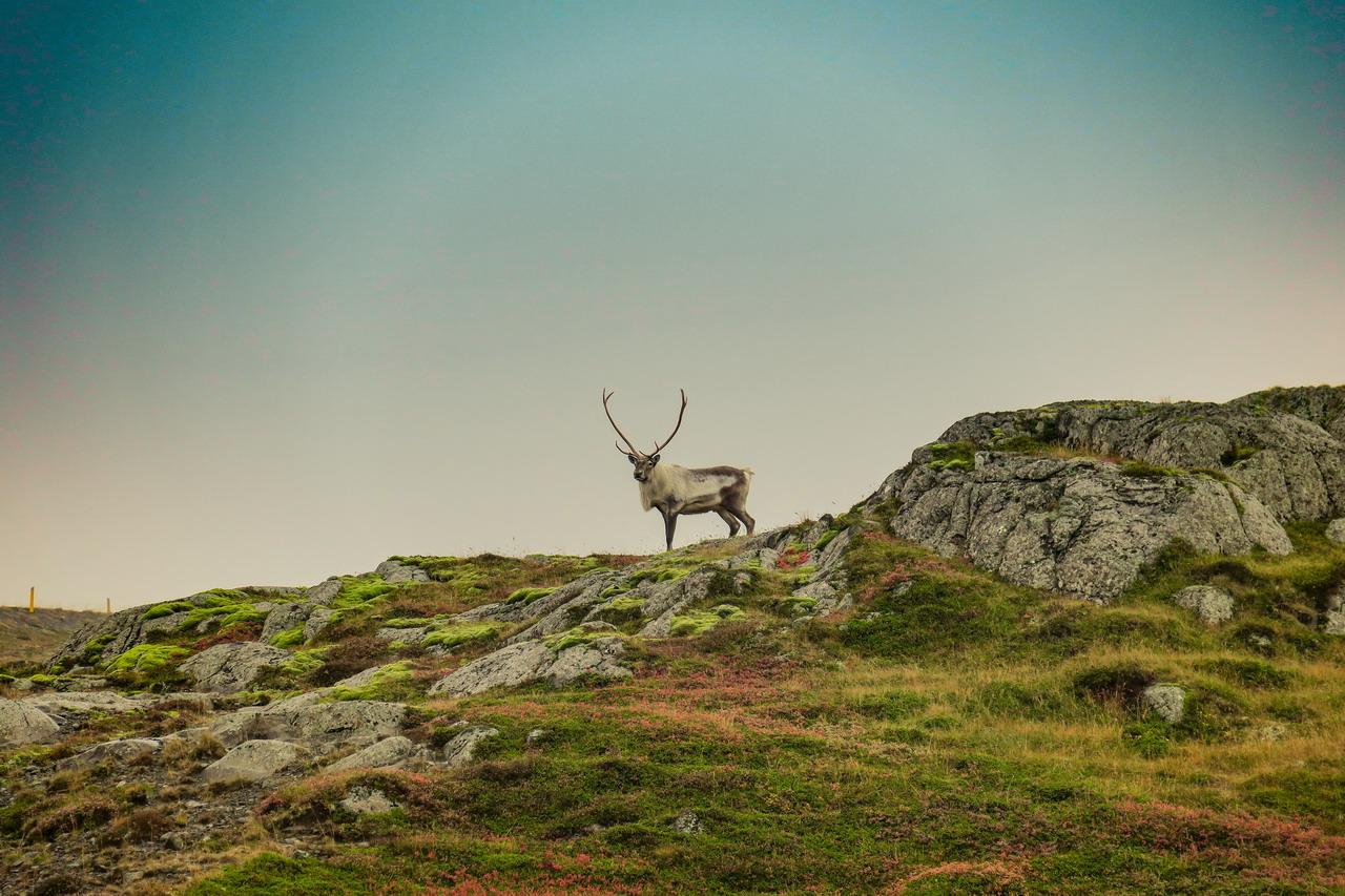 izland szarvas