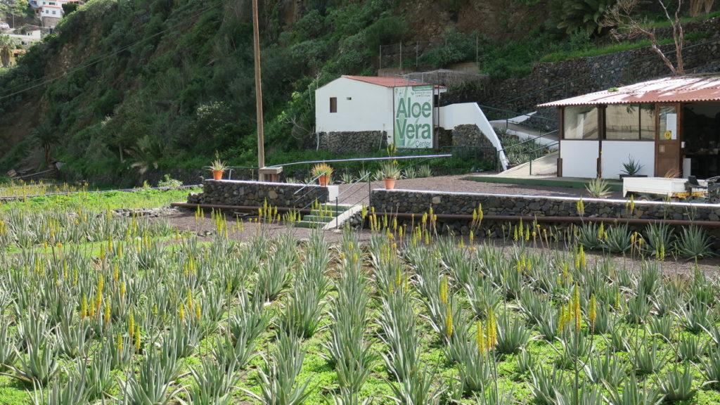 Aloe Vera farm ültetvény - La Gomera